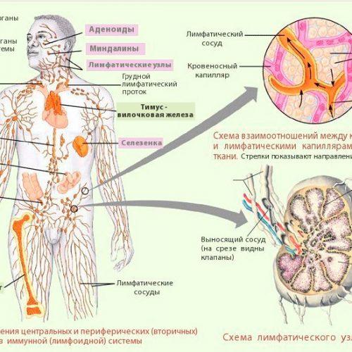 Лимфатическая система человека